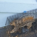 Squirrel Caught in trap