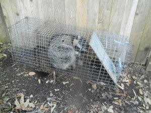 Raccoon-Caught-In-Trap