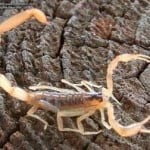 Striped-Bark-Scorpion