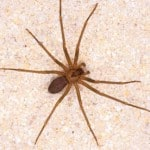 Brow-Recluse-Spider