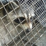 Raccoon pic